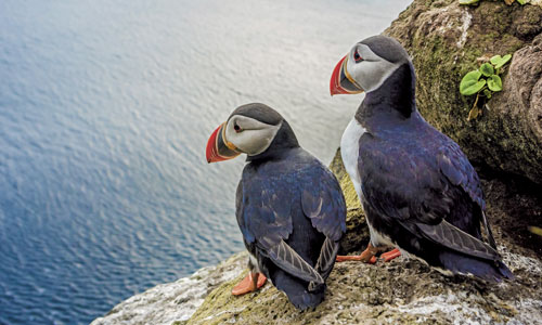 Spot puffins and other birdlife in the Arctic