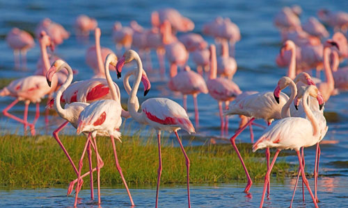 Spot flamingos at Lake Nakuru, Kenya