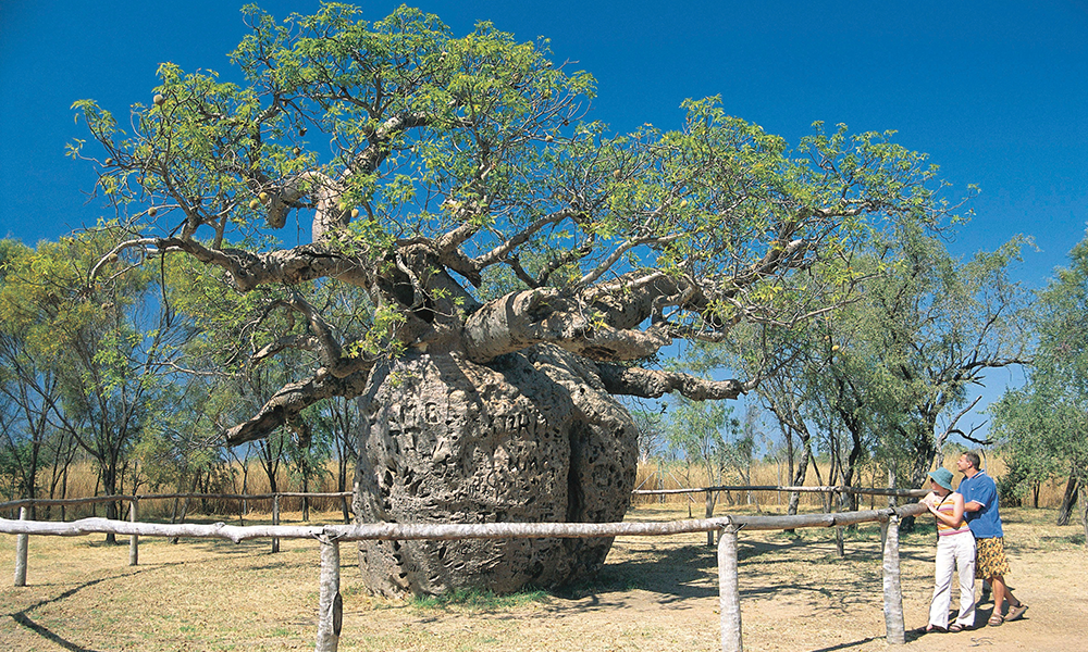 The remarkable Boab prison tree - Scenic Enrich